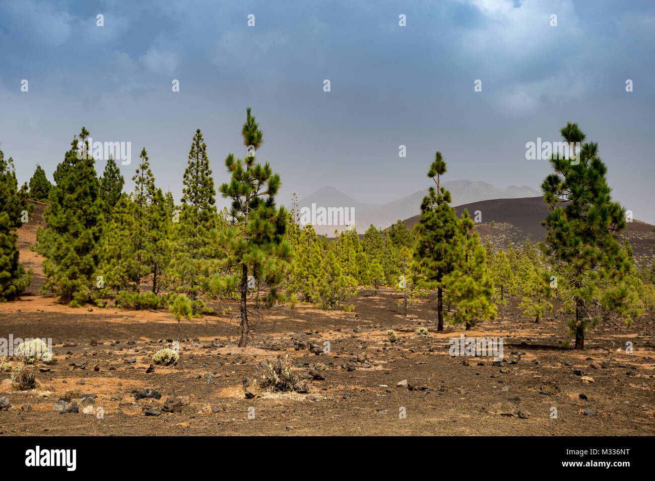 Conifer Forest in Teide Nation Park with Mountains in the Background, Tenerife, Spain, Europe - Stock Image