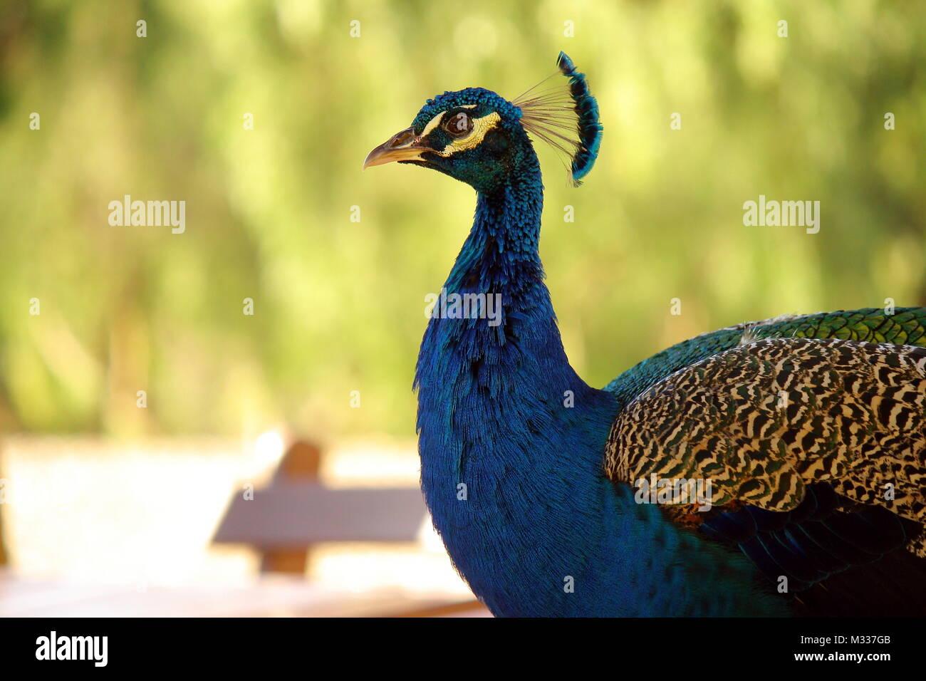 Peafowl - Stock Image