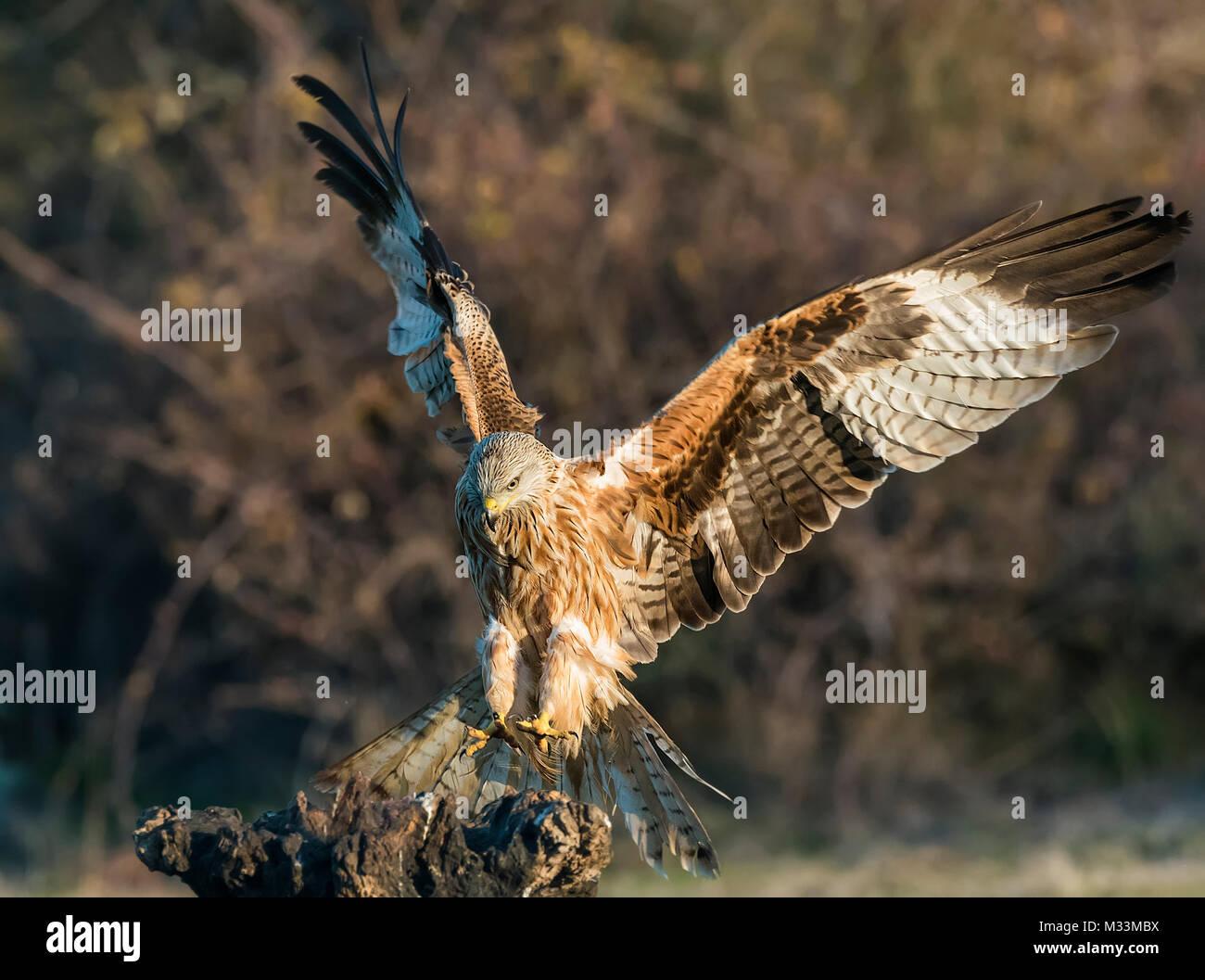 Milvus milvus red kite - Stock Image