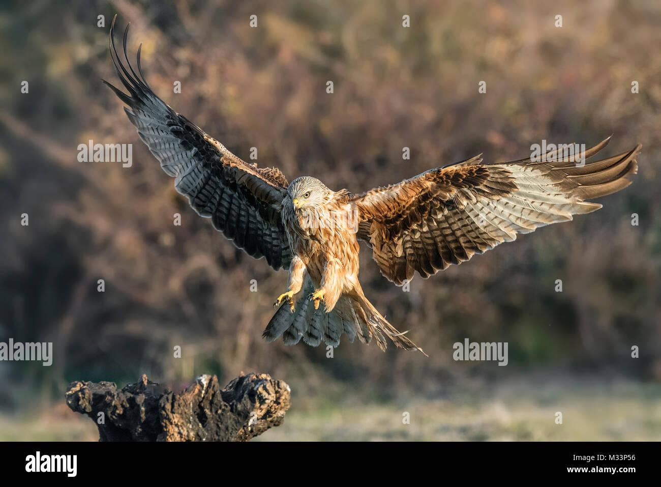 milvus milvus, red kite - Stock Image
