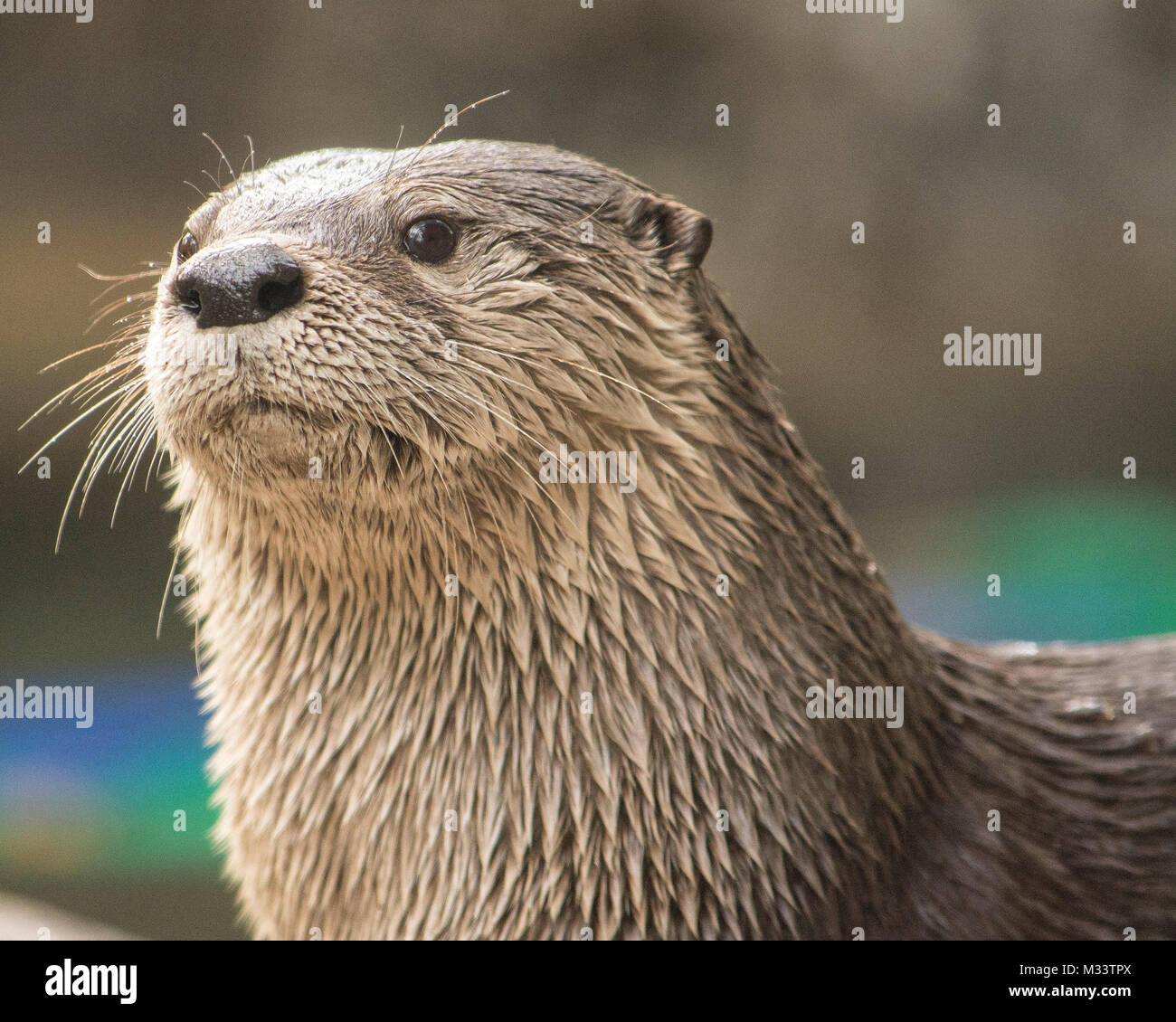 Cute otter isolated with plenty of room for copy. - Stock Image