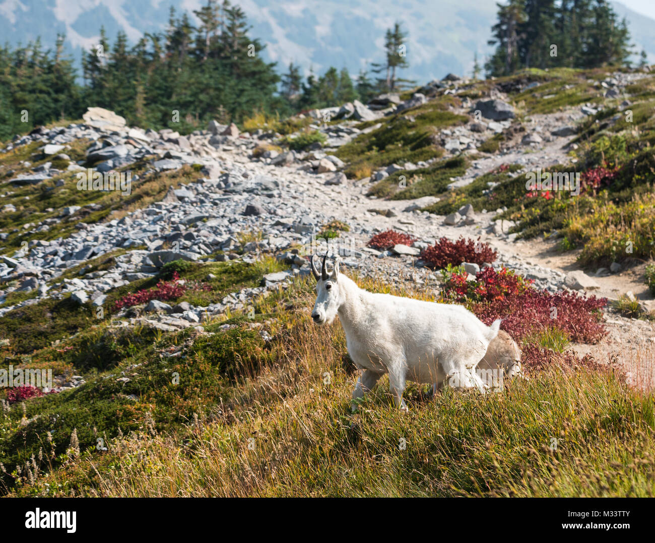 Mountain goat with colorful landscape - Stock Image