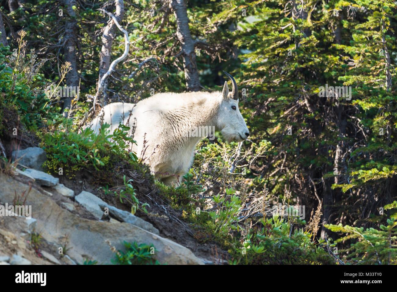 Stoic mountain goat looking away - Stock Image
