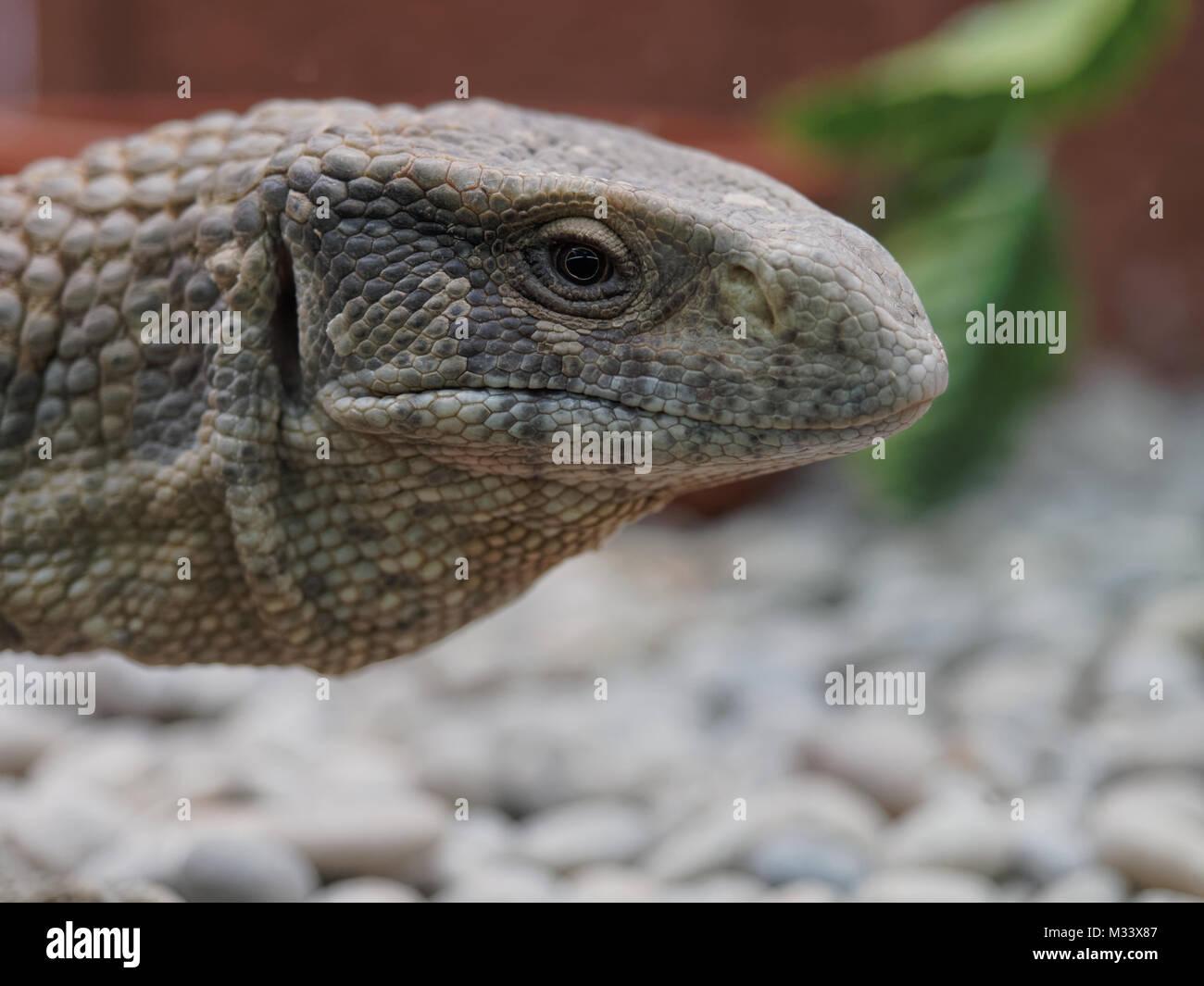 Closeup shot of Monitor lizard, Komodo dragon, head in the zoo - Stock Image