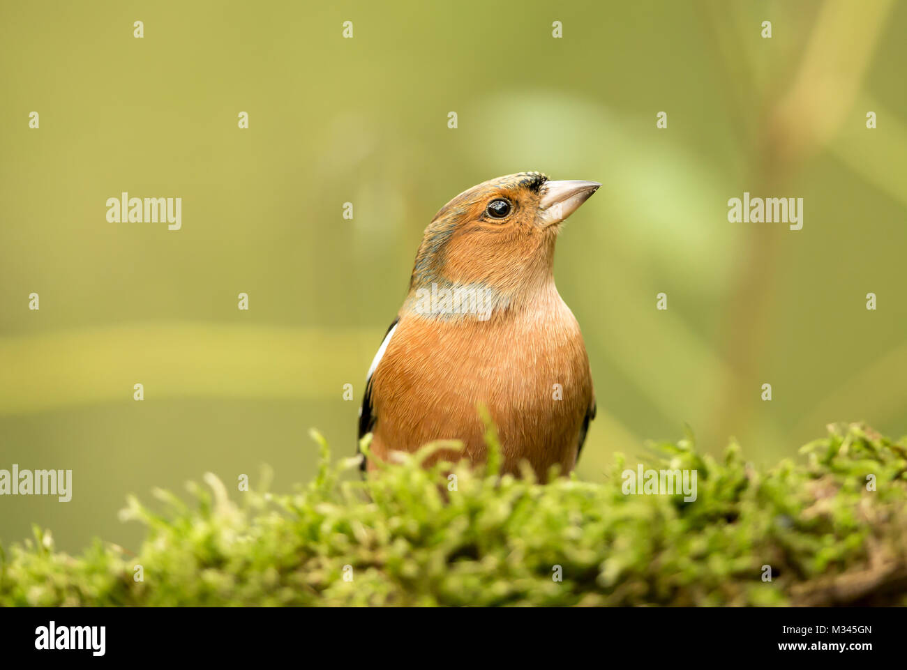 Male Chaffinch on green, moss covered log with blurred background - Stock Image
