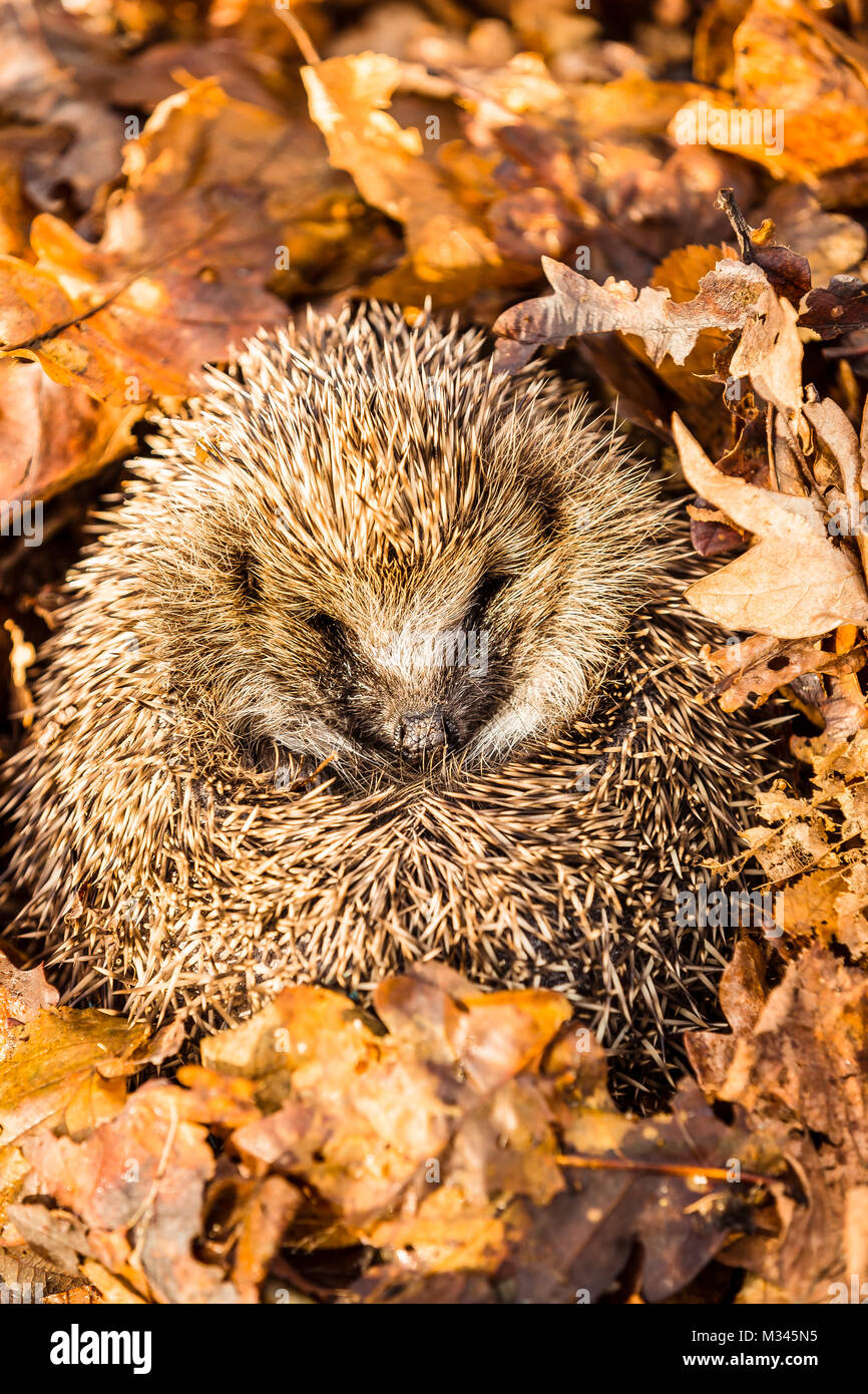 Hedgehog, native, wild hedgehog hibernating in golden autumn leaves. Erinaceous Europaeus - Stock Image