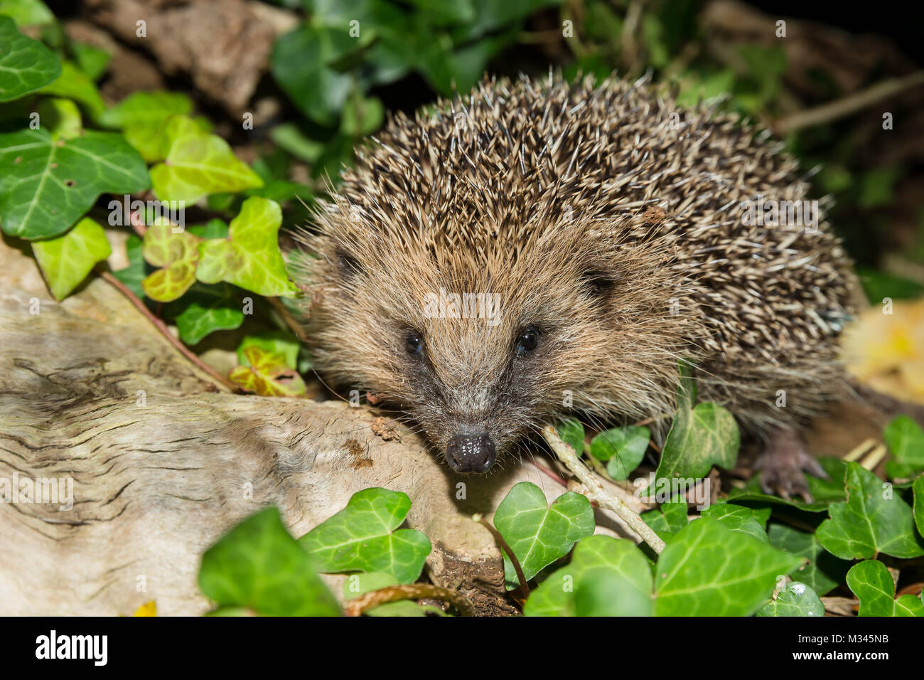 Hedgehog in Green Grass with Green Ivy and moss - Stock Image