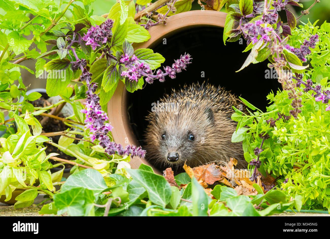 Hedgehog, native, wild hedgehog. Erinaceous Europaeus in terracotta pipe surrounded by garden herbs - Stock Image