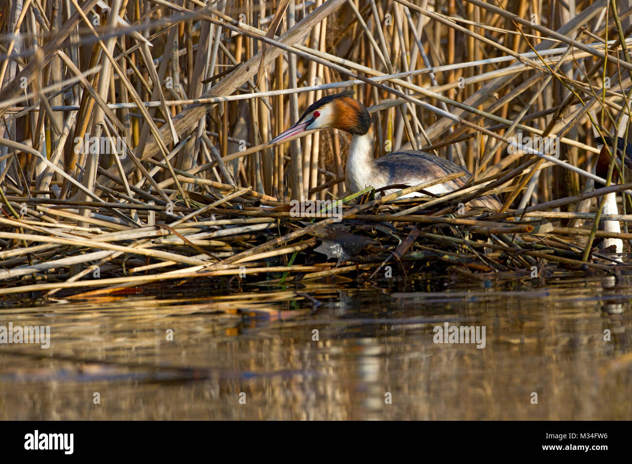 A greater crested grebe in hatching on a floating nest - Stock Image