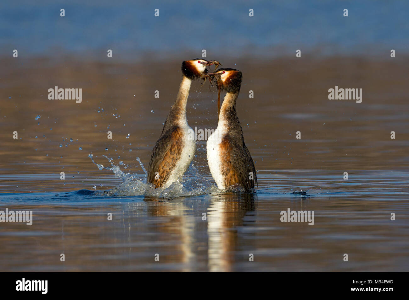 Greater grebes in bridal parade - Stock Image