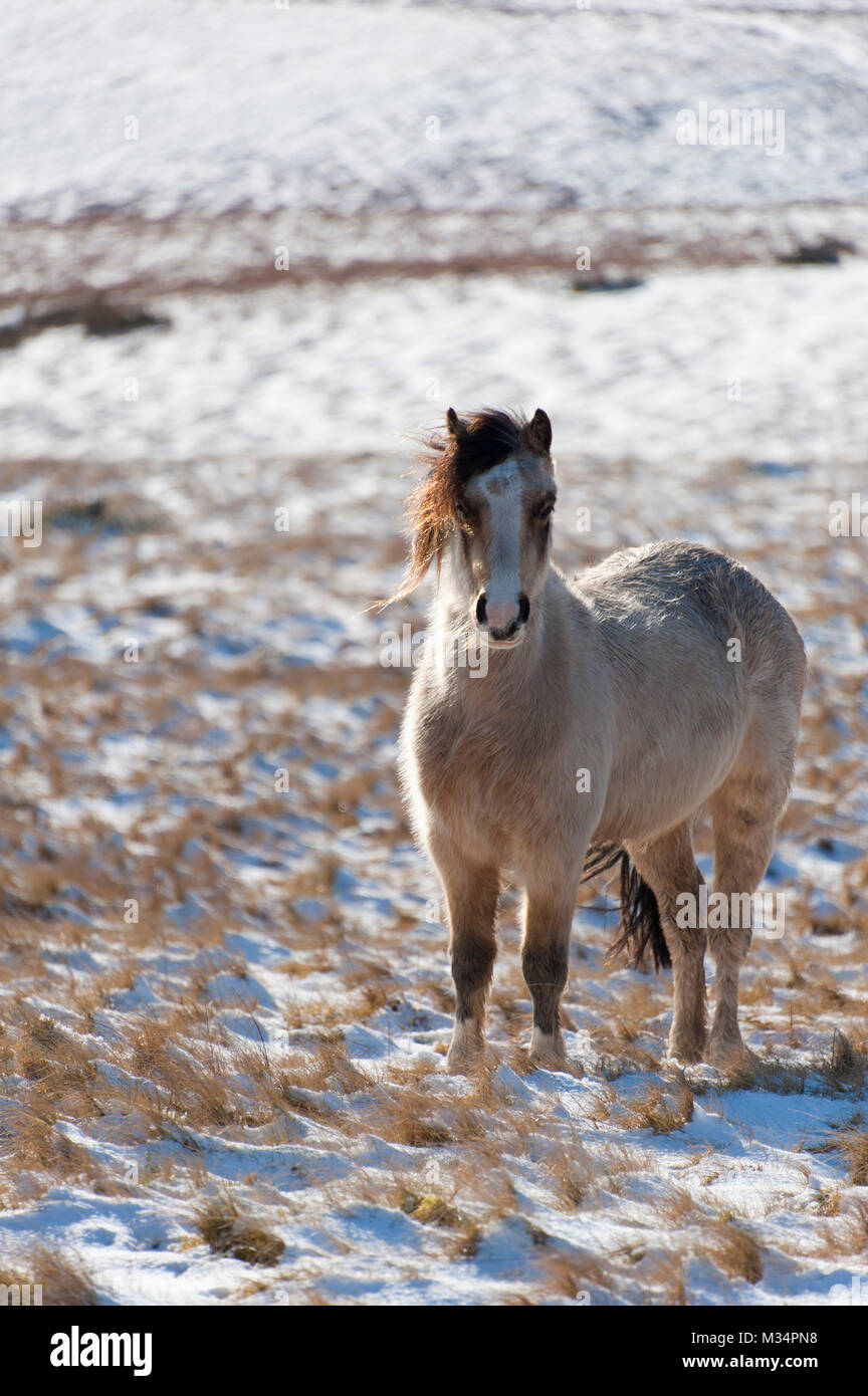 Builth Wells, Powys, UK. 9th Feb, 2018. UK Weather. Hardy Welsh Mountain Ponies are seen in a wintry landscape on - Stock Image