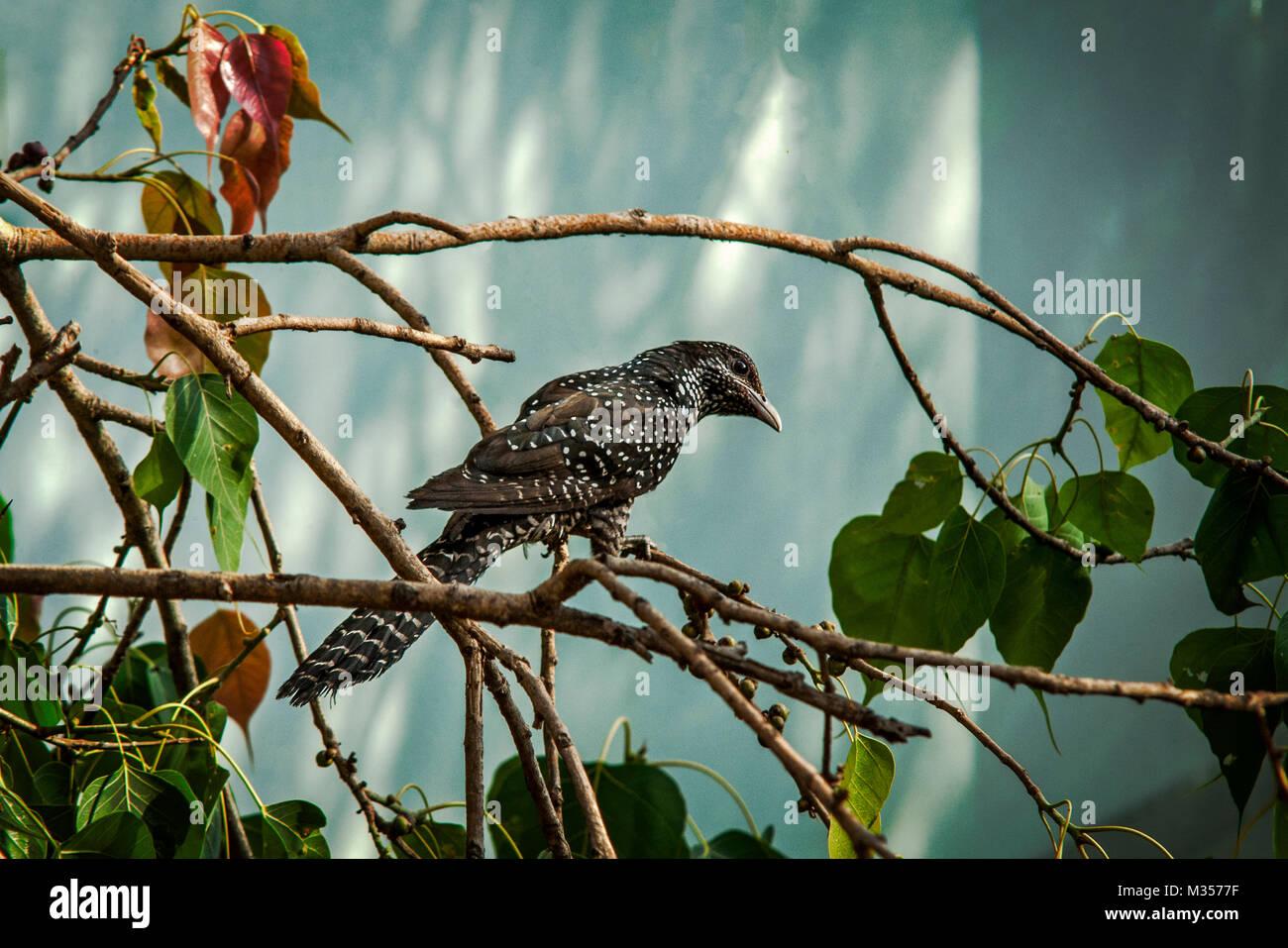 Cuckoo bird, India, Asia - Stock Image