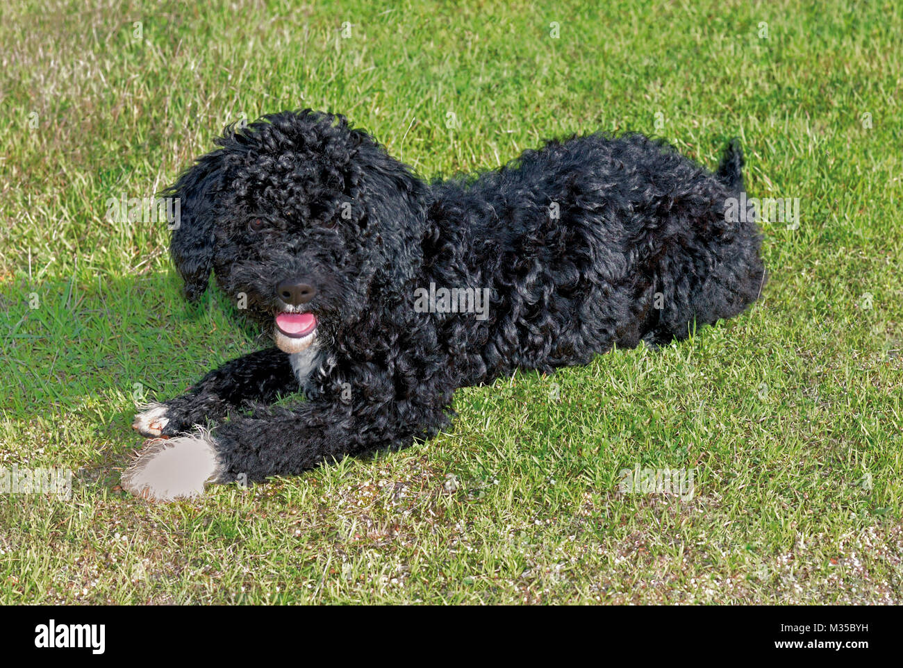 Young Portuguese Water Dog  lying in green grass - Stock Image