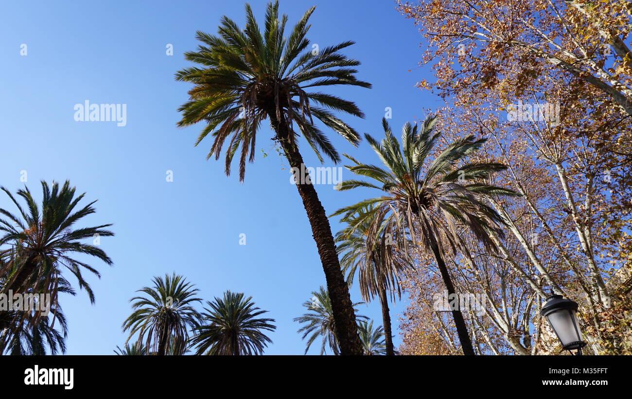 Palermo, Sicily, Italy - palm trees in the park Villa Bonanno, Winter morning - Stock Image