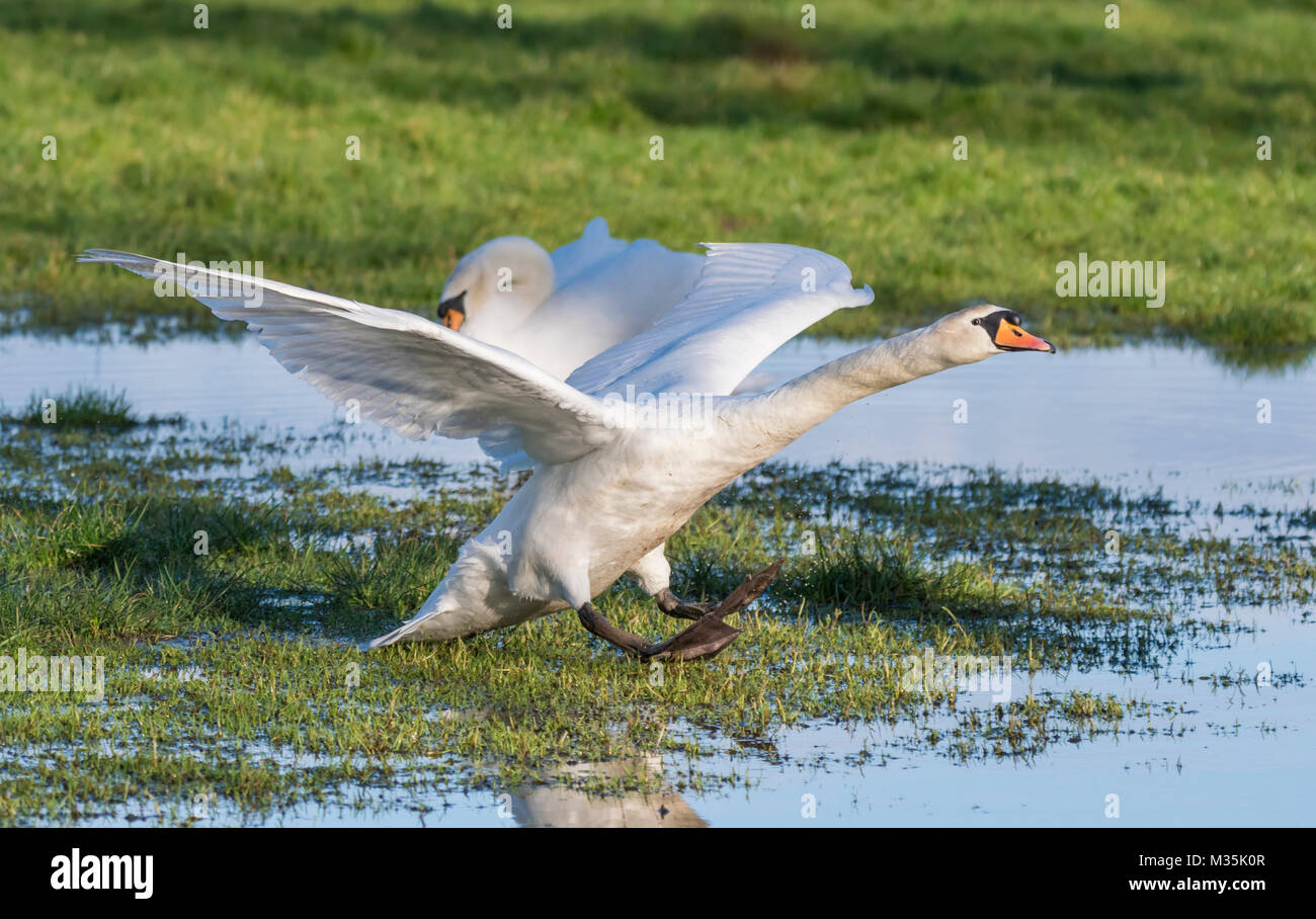 White Mute Swan (Cygnus olor) landing in a flooded field in winter in England, UK. - Stock Image