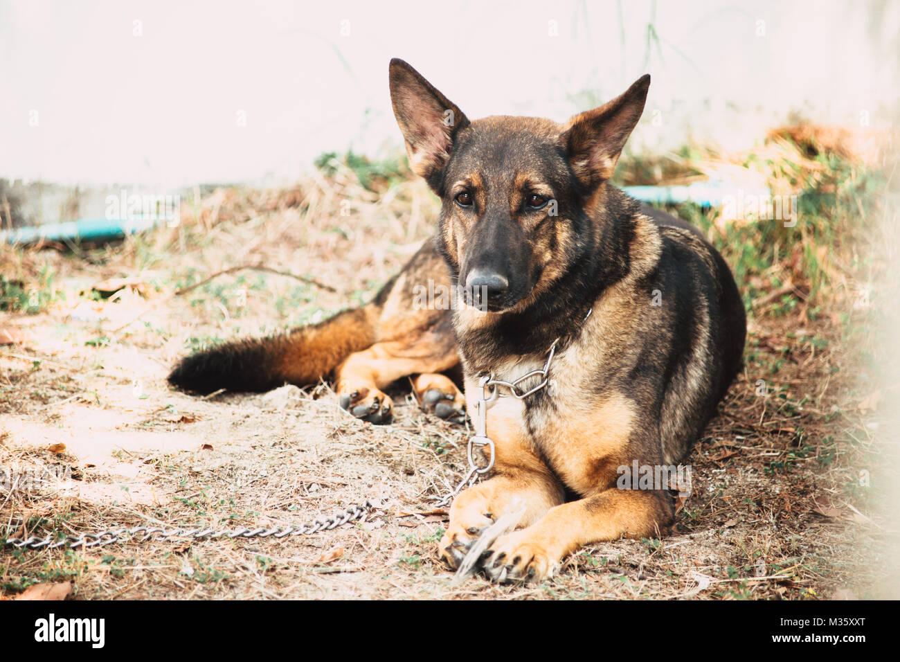 German Shepherd Dog K 9 Military Soldier Alsatian Dog Serious Face