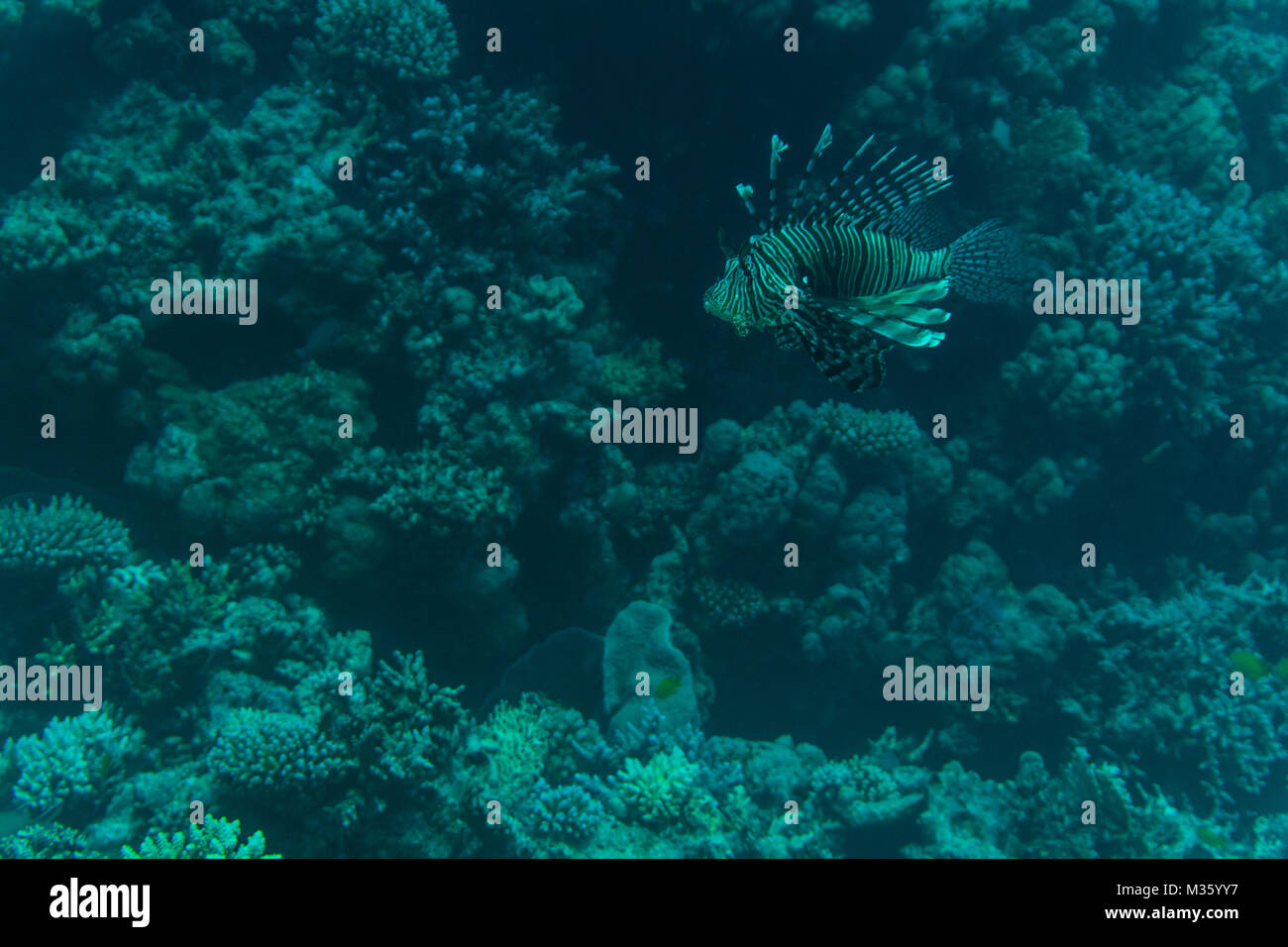 Colorful Lionfish on a tropical coral reef - Stock Image