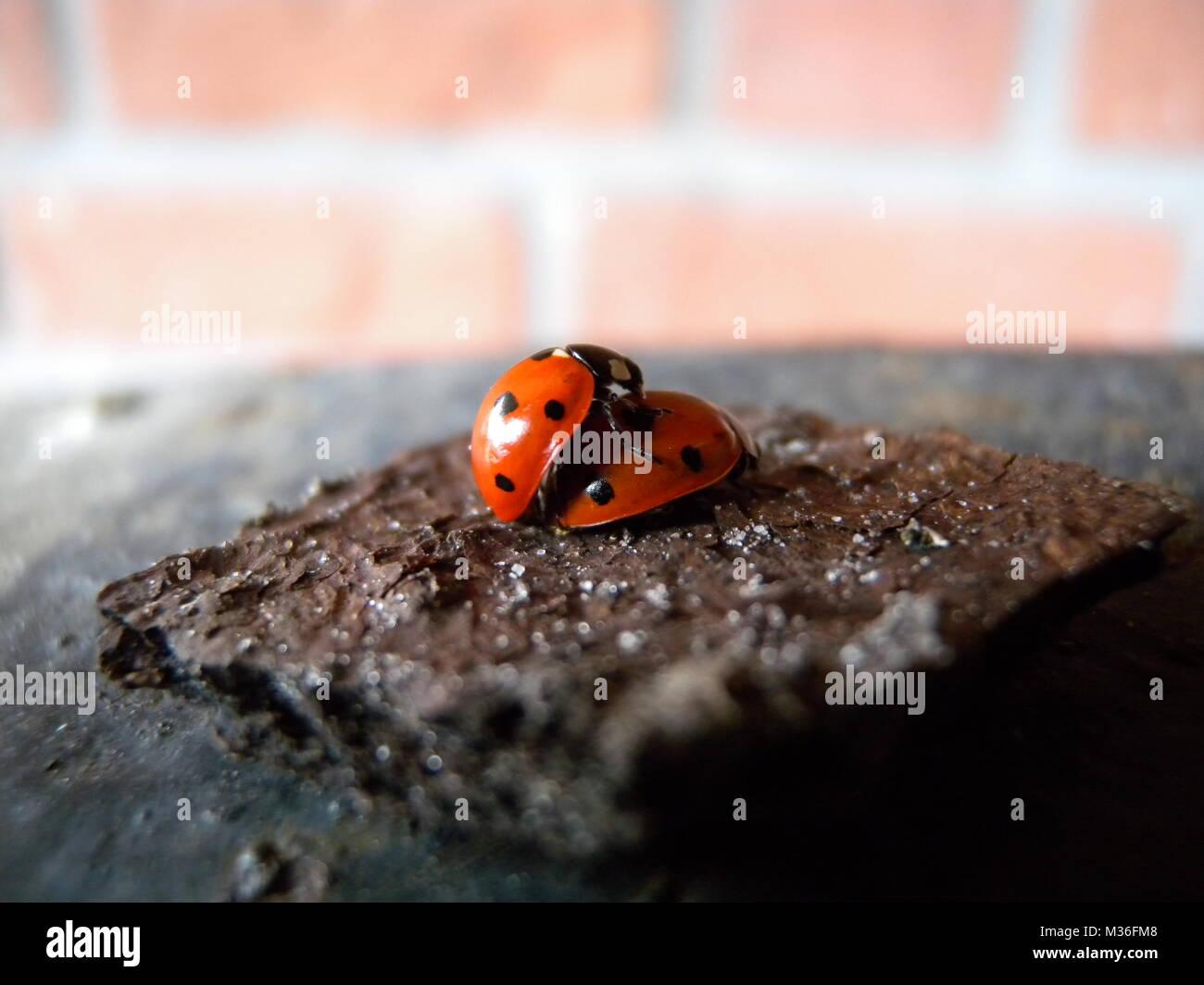 ladybug - Stock Image