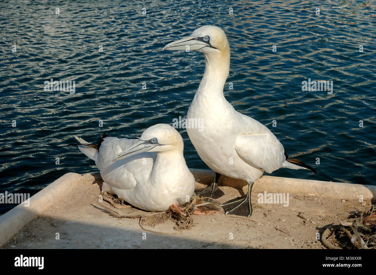Pair of Northern Gannets, Morus bassanus, Nesting on the Quayside at the Port of Carry-le-Rouet Provence France - Stock Image