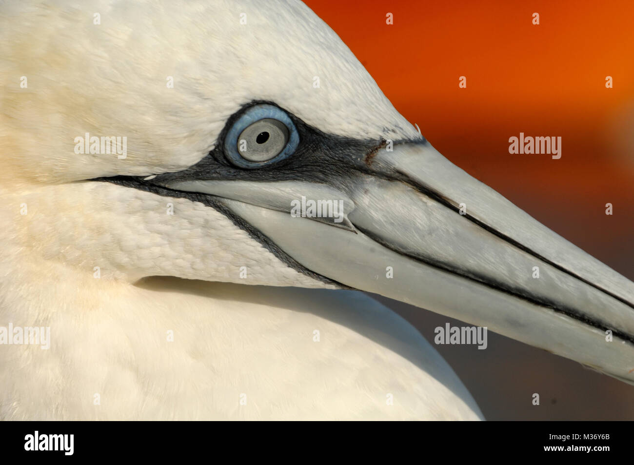 Portrait of Northern Gannet, Morus bassanus, Against the Orange Hull of a Fishing Boat in the Port of Carry-le-Rouet - Stock Image