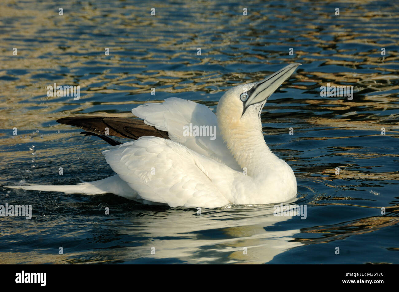 Northern Gannet, Morus bassanus, Swimming in the Mediterranean Sea near Carry-le-Rouet Provence france - Stock Image