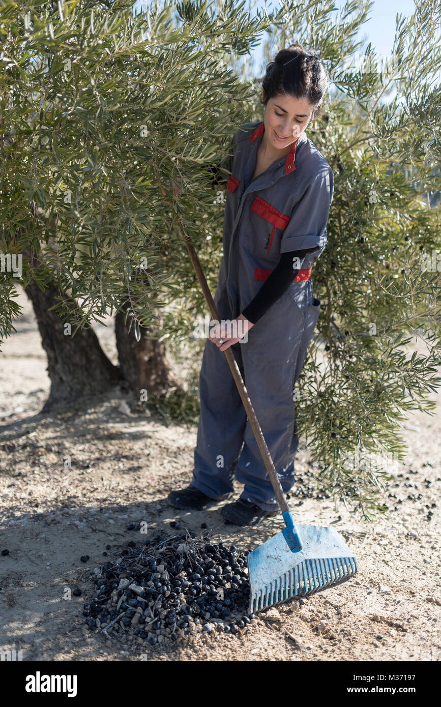 Jaen, Spain. Woman collecting olives by broom for harvest. - Stock Image