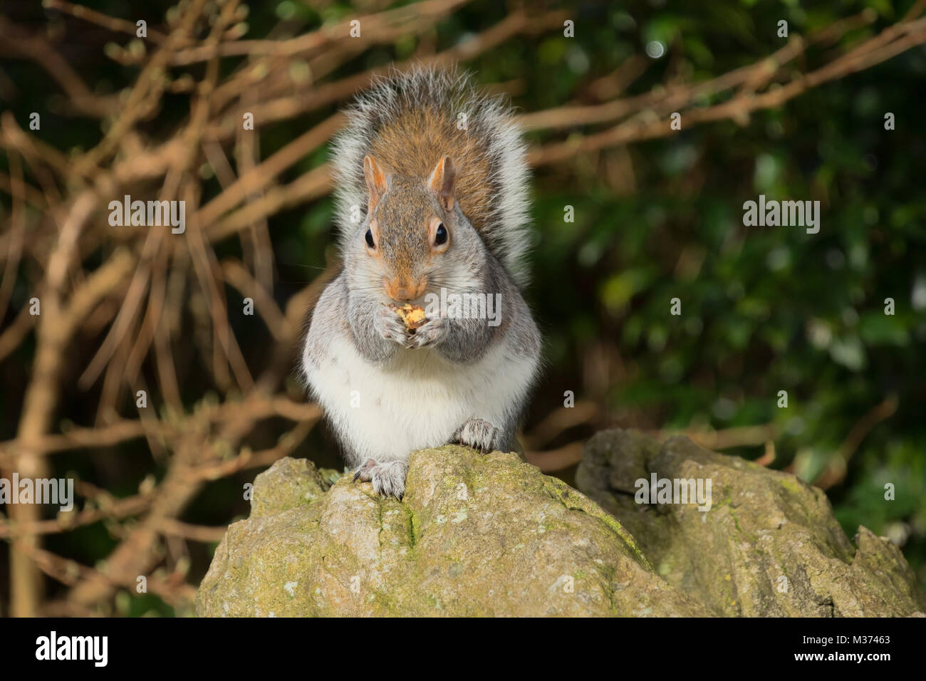 Grey Squirrel snacking on nuts at The Valley Gardens,Harrogate,North Yorkshire,England,UK. - Stock Image