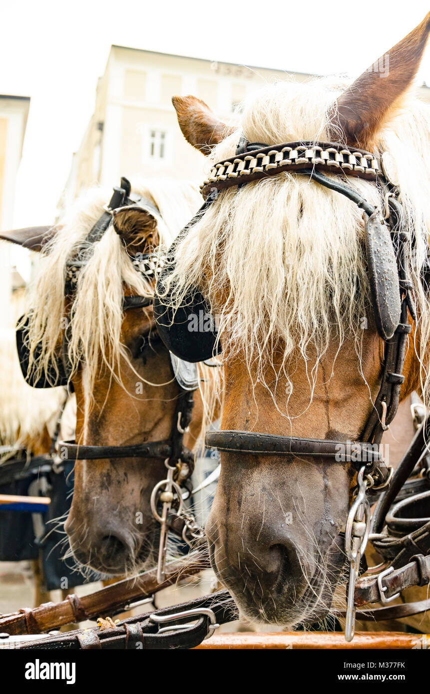 Two brown horses in a harness at the hackney - Stock Image
