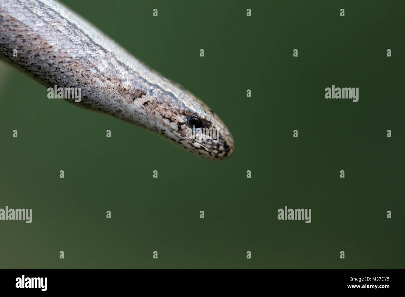 Slow Worm (Anguis fragilis) Stock Photo