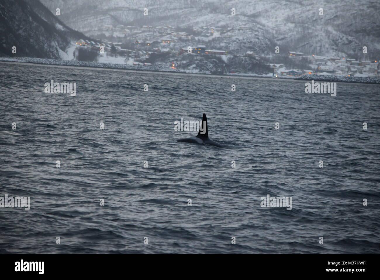 Killer Whales, Orcinus orca, Tromsø Fjords, Tromsø, Norway, Europe - Stock Image