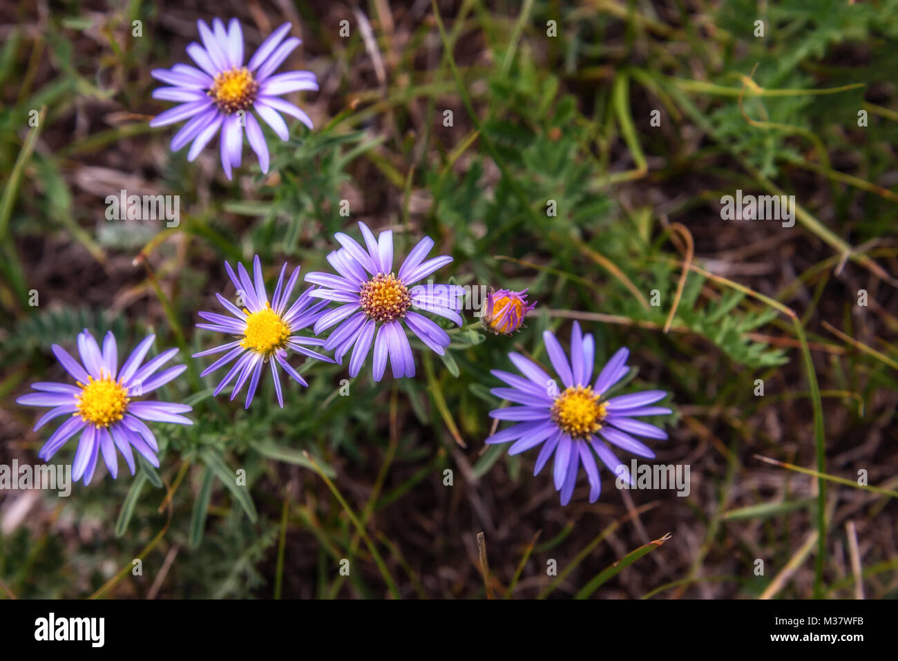 Beautiful floral background with delicate lilac flowers daisies beautiful floral background with delicate lilac flowers daisies growing on the meadow in the mountains izmirmasajfo