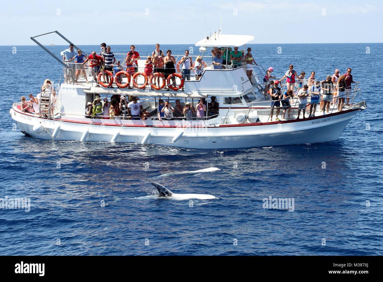Gran Canaria, Juli 2012, Delphine (Delfine) vor der Kueste, Ausflugsboot - Stock Image