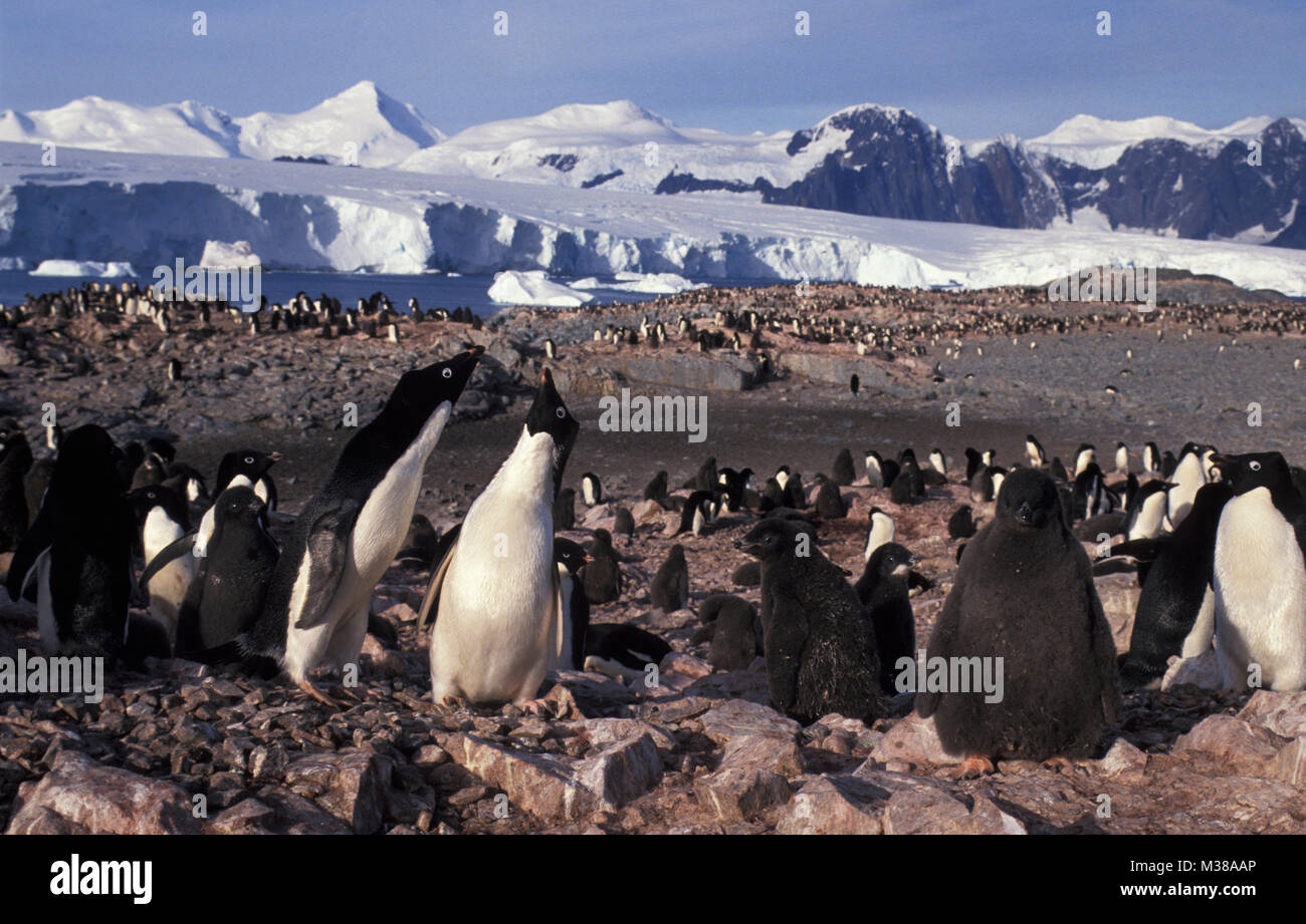 Antarctica. Adelie penguins (Pygoscelis adeliae) with young, chickens in nesting ground, colony. - Stock Image