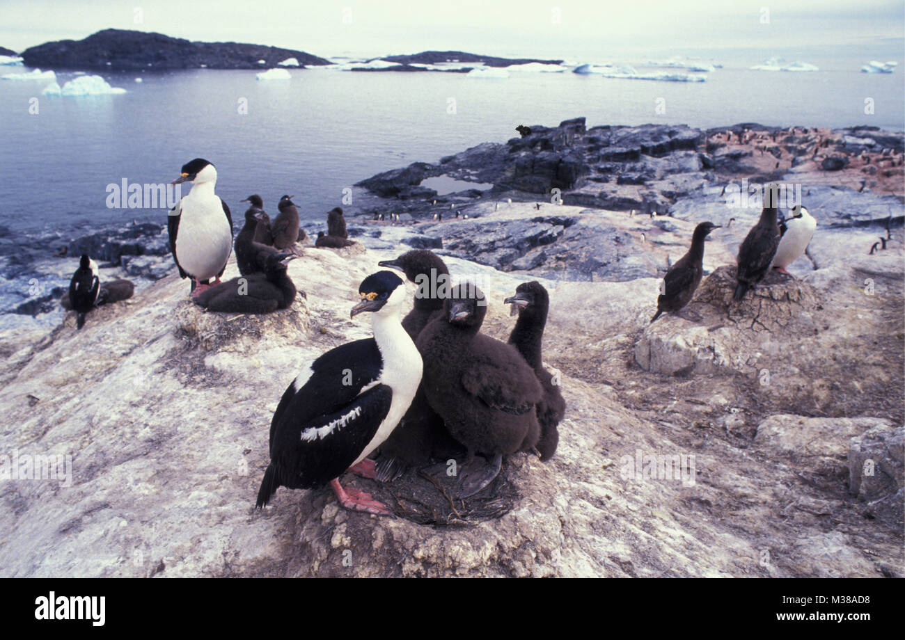 Antarctica. Nesting ground of Blue-eyed cormorants or imperial shag (Phalacrocorax atriceps) and young, chickens. - Stock Image
