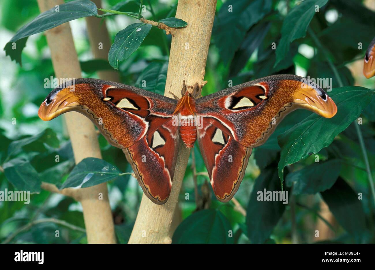 Vietnam. Near Son La. Butterfly. Atlas moth (Attacus atlas). - Stock Image