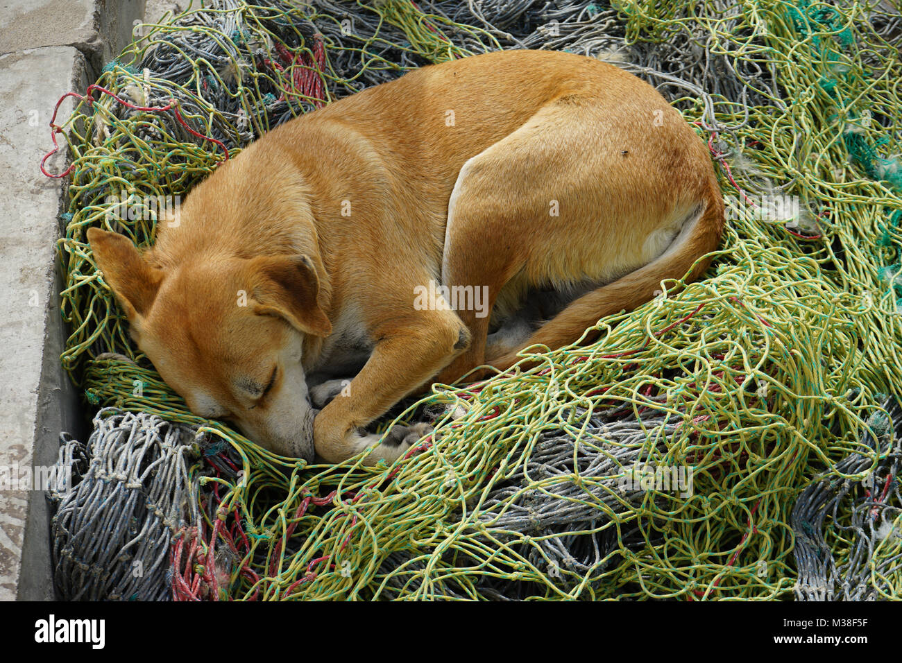 dog sleeping on fishnet, Mindelo, Cape Verde - Stock Image