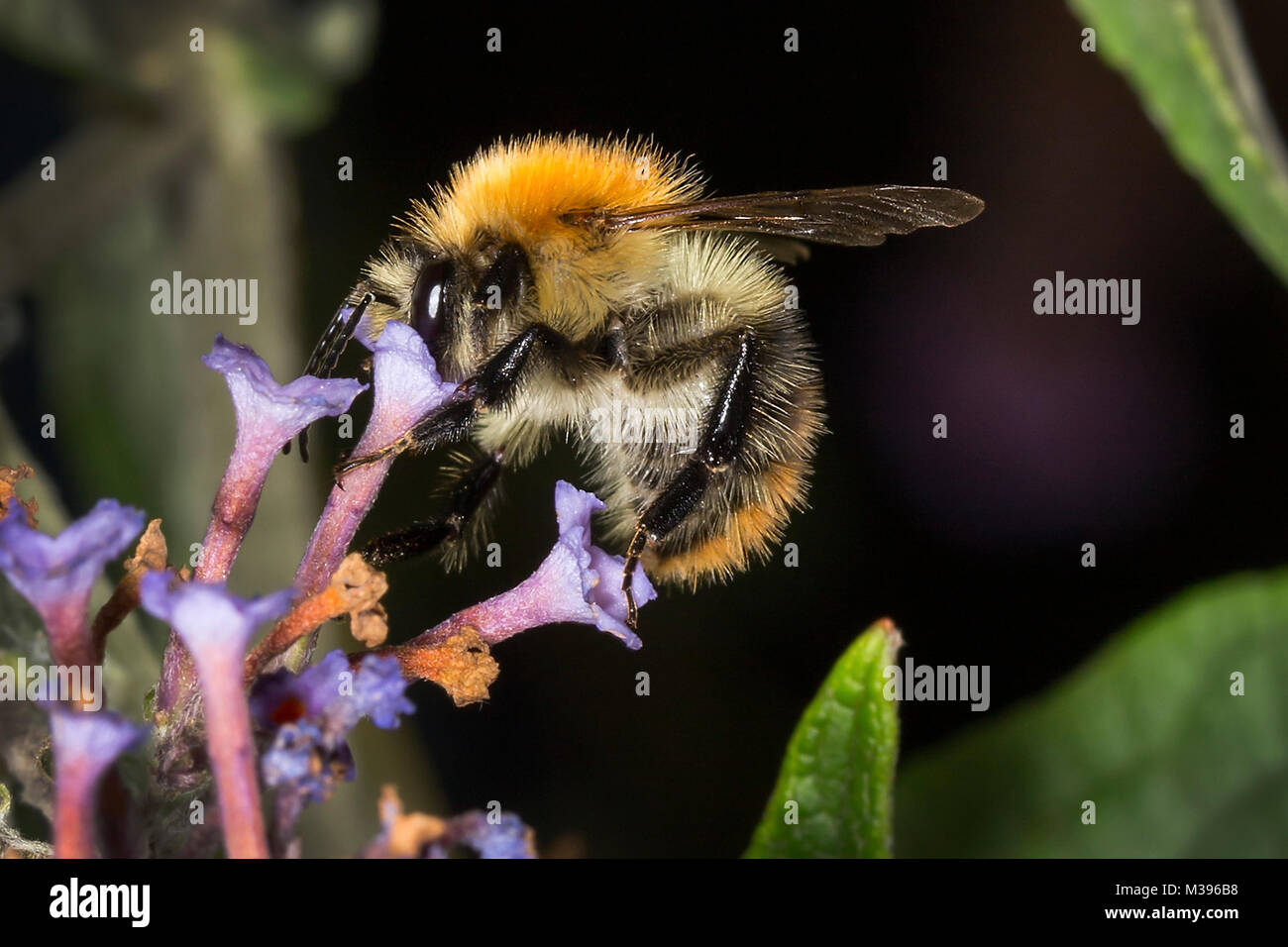 A bumble bee feeding on nectar from a Budlea flower. Either a male, or a Cuckoo Bumble Bee as it has no pollen sack on it's hind leg. Stock Photo