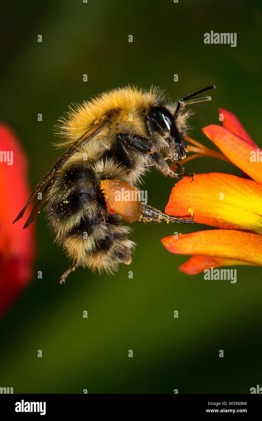 A bumble bee feeding on nectar from a Corcosmia flower. This is a female as she has full pollen baskets on her hind - Stock Image