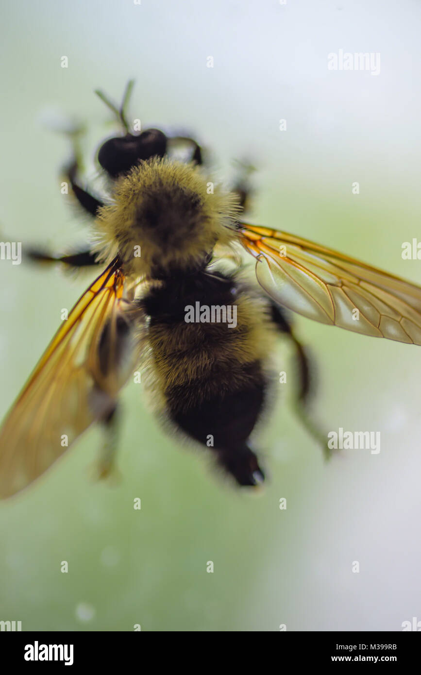 macro close up of a single bee on window with soft diffused light - Stock Image