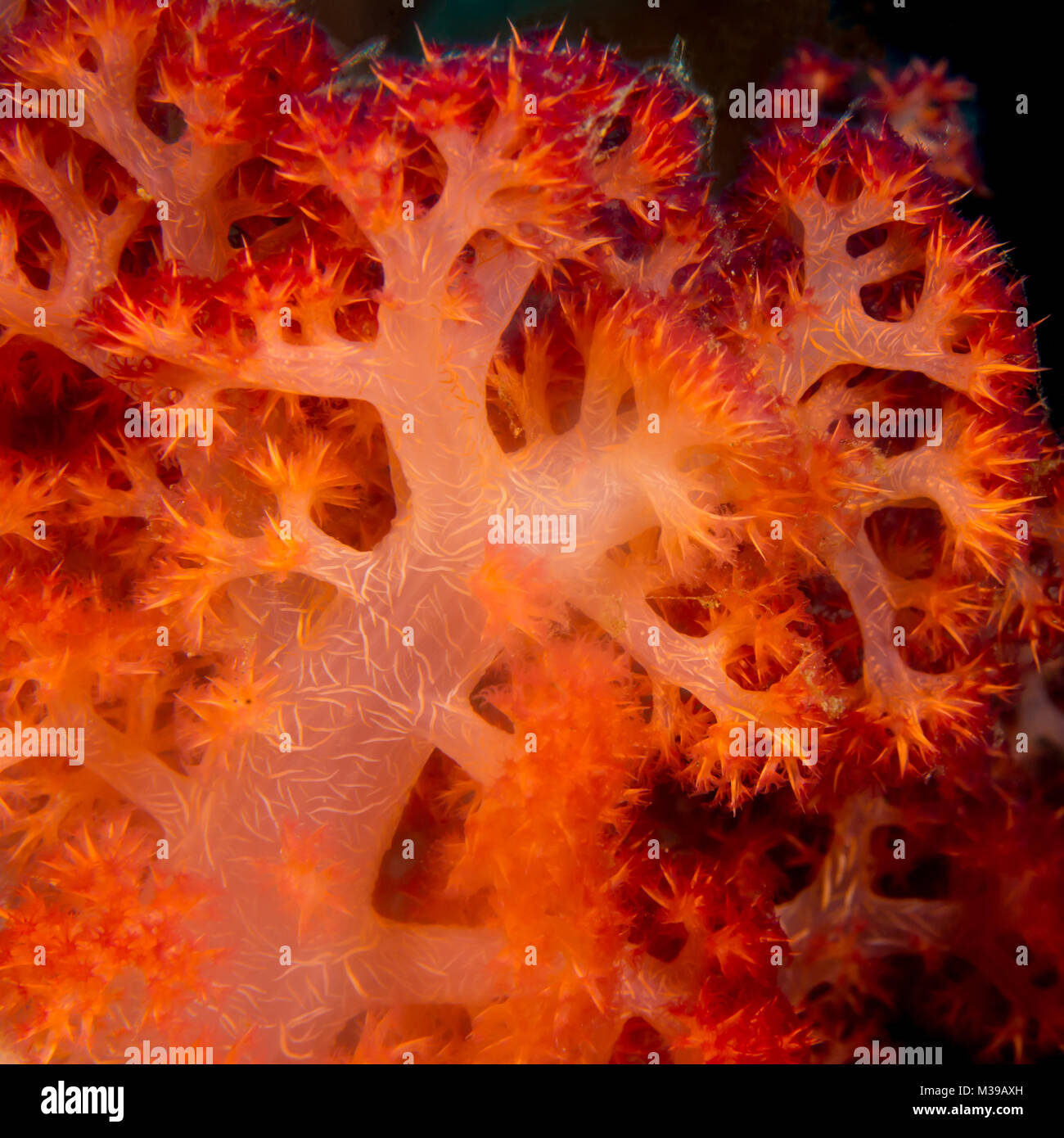 Close up of a soft coral - Stock Image