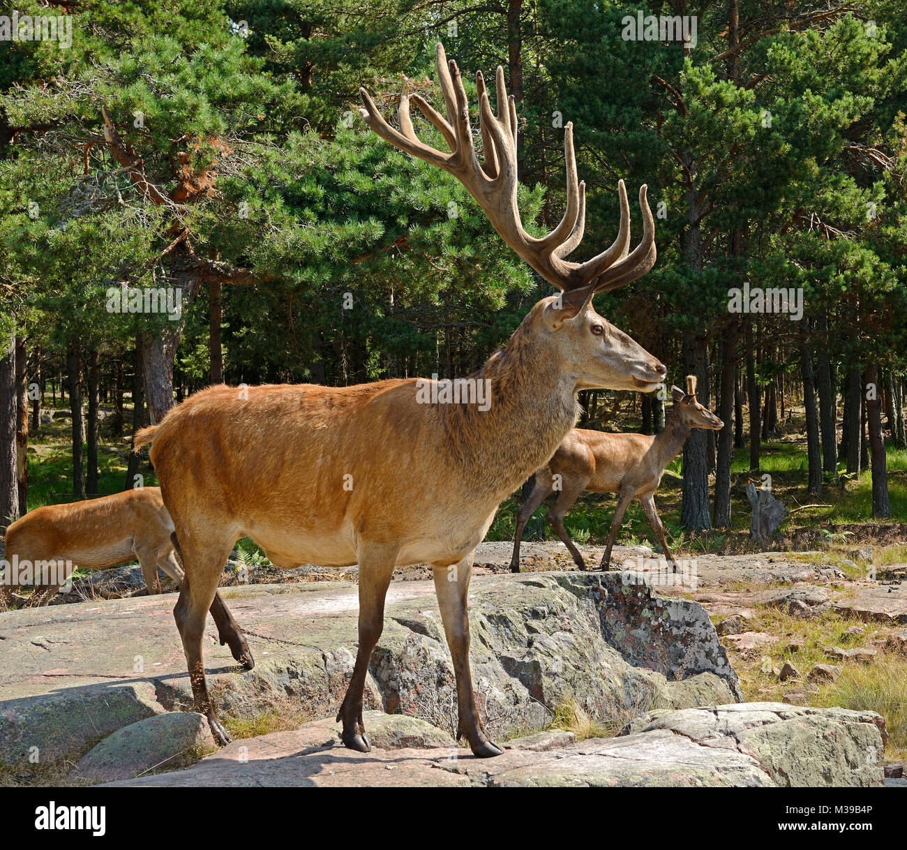 Red deer (Cervus elaphus). Mature male (stag) - Stock Image