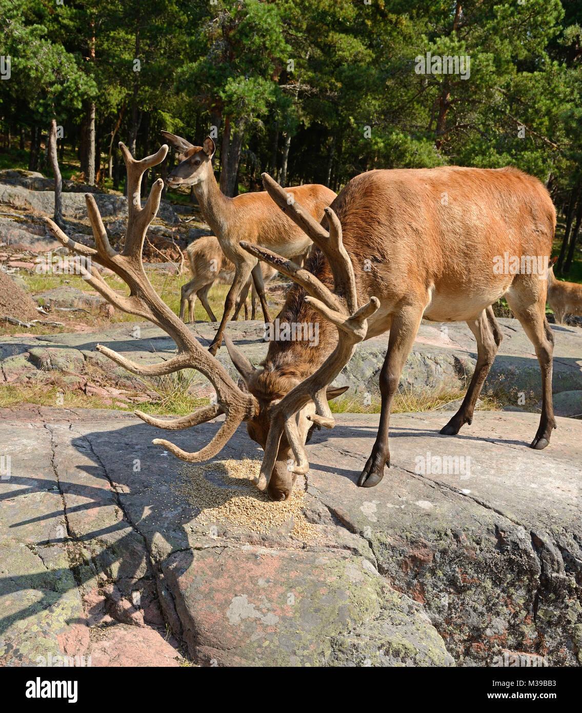 Red deer (Cervus elaphus)  eat grain - Stock Image