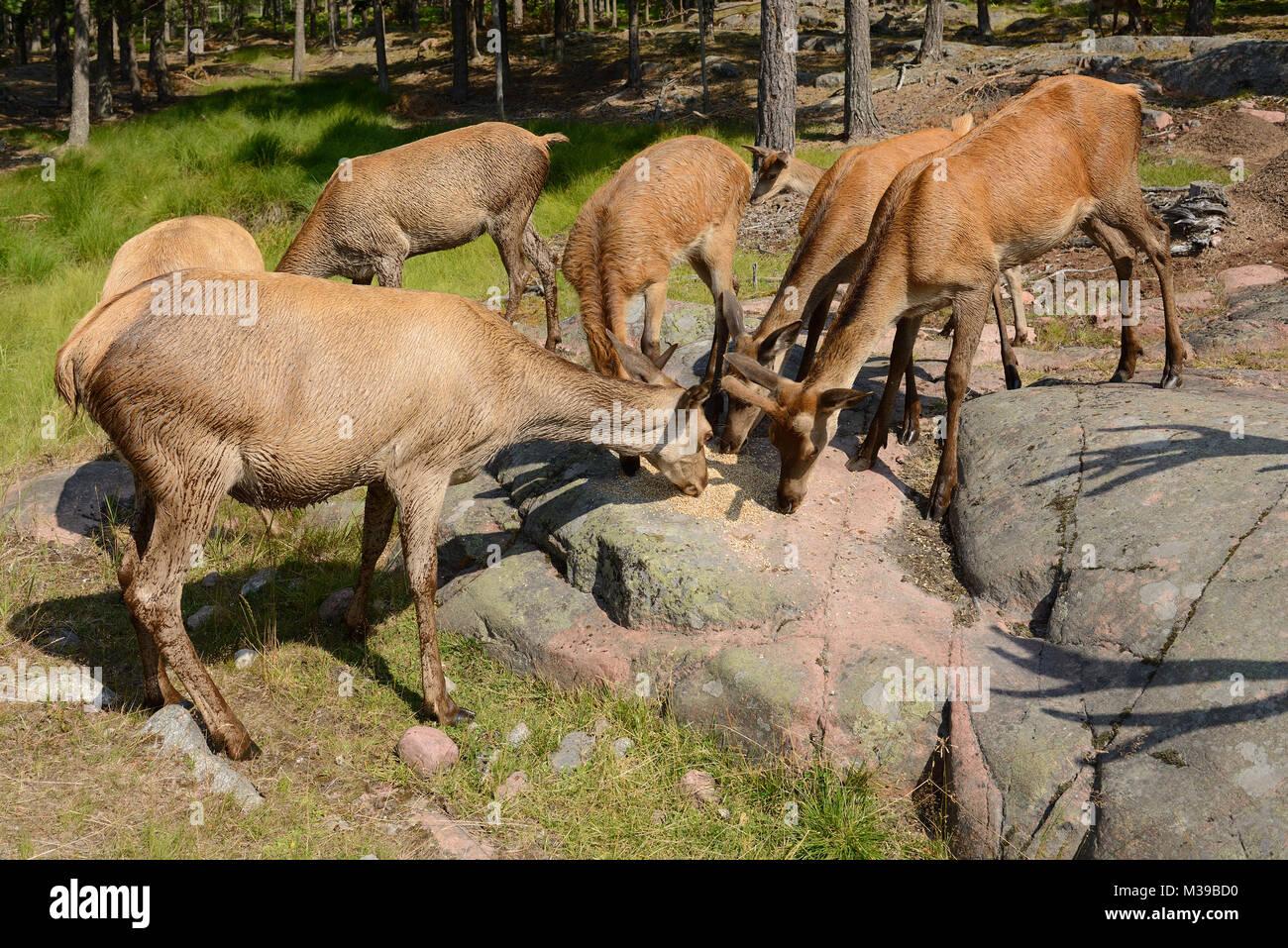 Herd of Red deer (Cervus elaphus) eat grain in forest - Stock Image