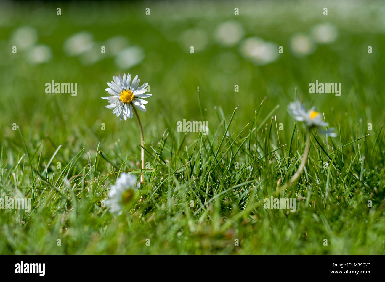 White and yellow daisies in the grass - close up - low depth of field - Stock Image