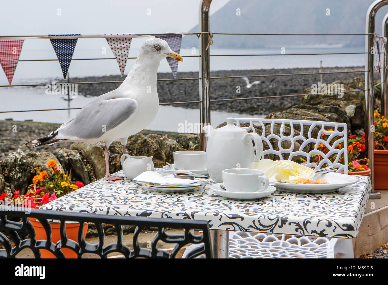 Scavenging seagull - Stock Image