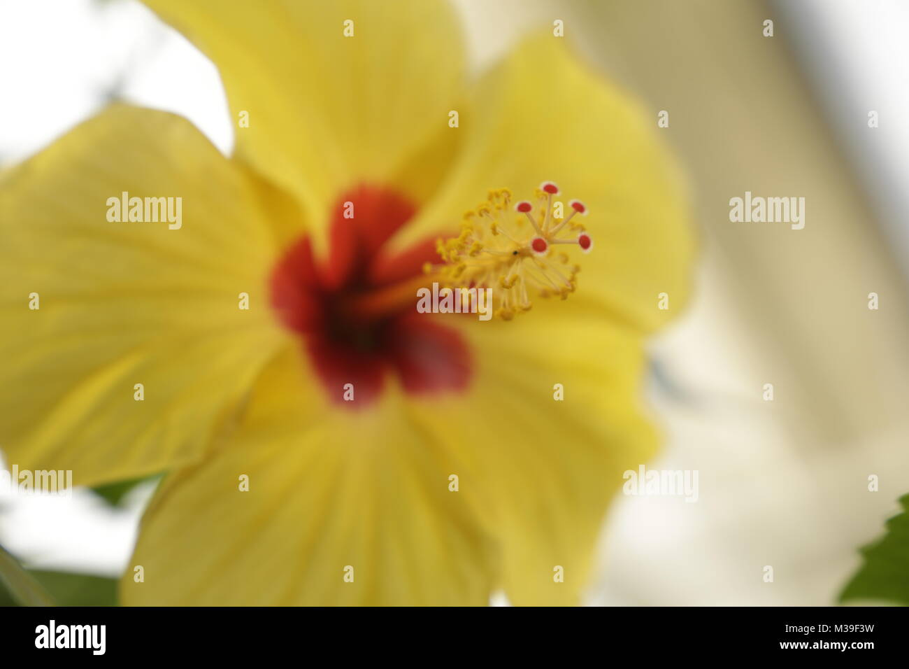 Yellow hibiscus flower - Stock Image