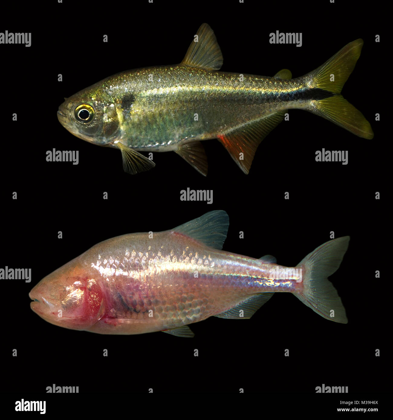 Mexican tetra or blind cave fish Astyanax mexicanus. Two form of this fish. The surface-dwelling form (up) is something - Stock Image