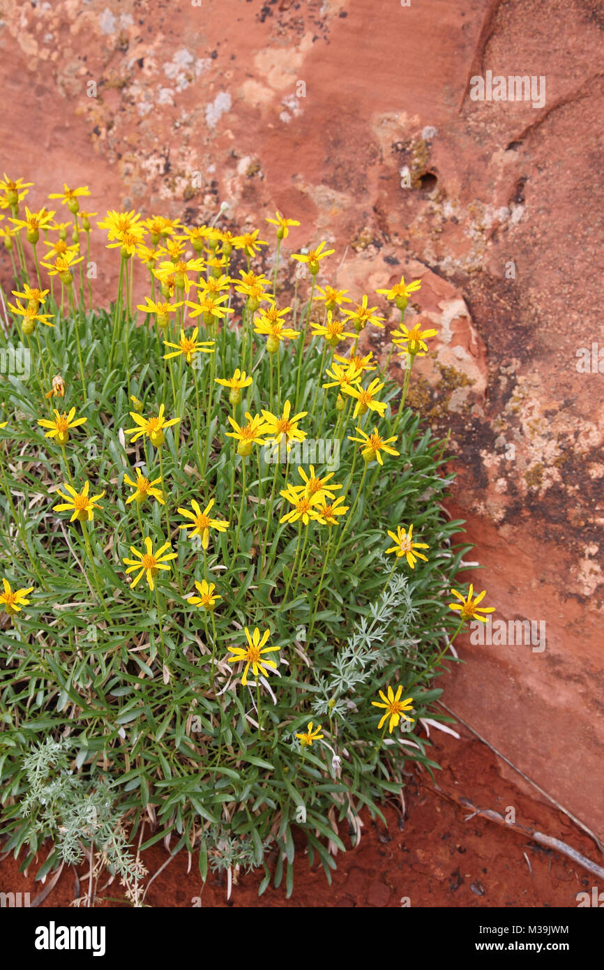 goldeneye wildflowers in southwestern desert - Stock Image