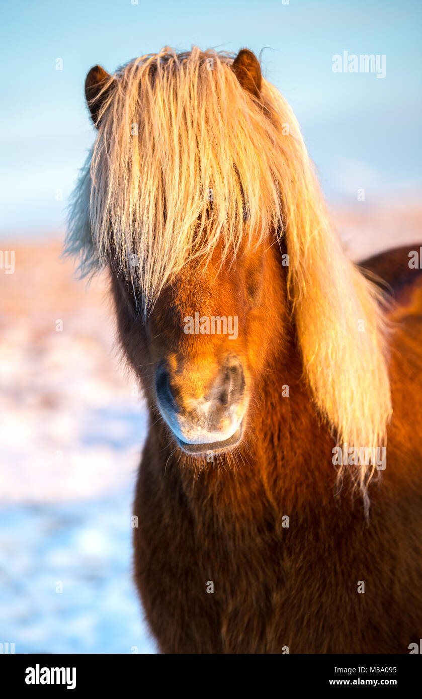 Portrait of an Icelandic horse with a beautiful blonde mane - Stock Image