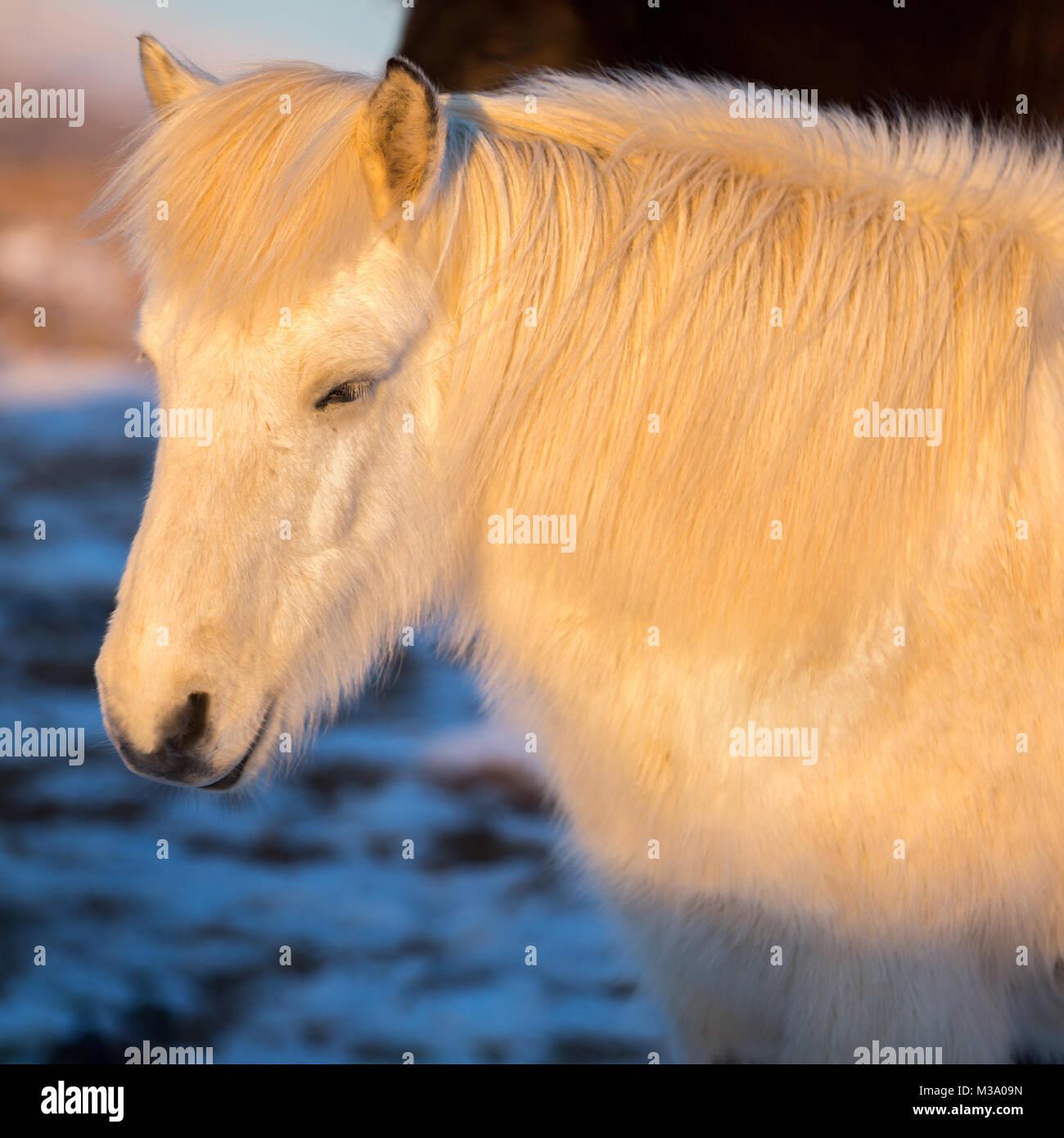 Portrait of beautiful white icelandic horse under natural sunrise light. - Stock Image